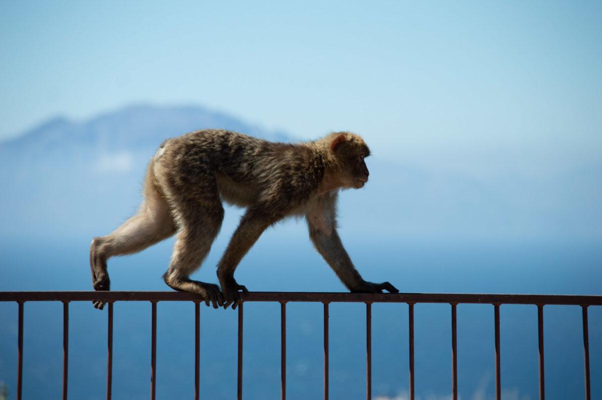 Aapje bij Gibraltar